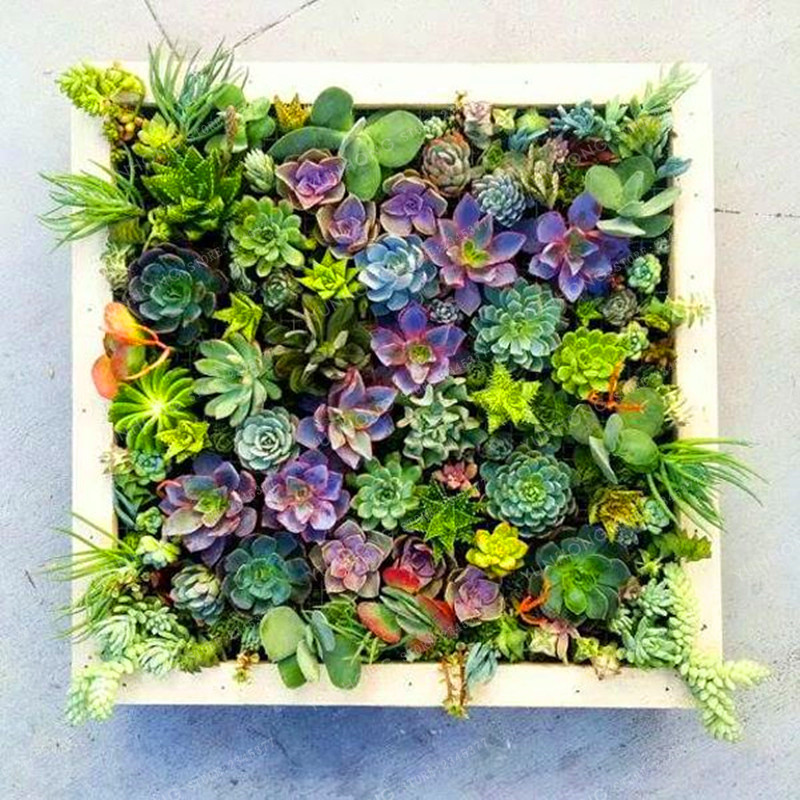 lithops semillas de piedra viva flor de cactus suculentas raras semillas de cactus planta carnosa bonsai