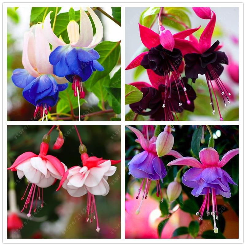 200 pcs/bag fuchsia seeds, fuchsia flower, bonsai Hanging flower seeds, potted plant Lantern Begonia seeds for home garden