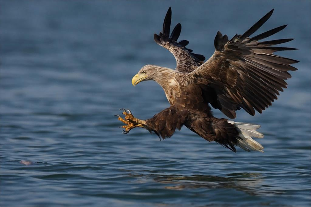 ᗛDIY marco Flying pomp Eagle Hawks catch fish animal carteles y ...
