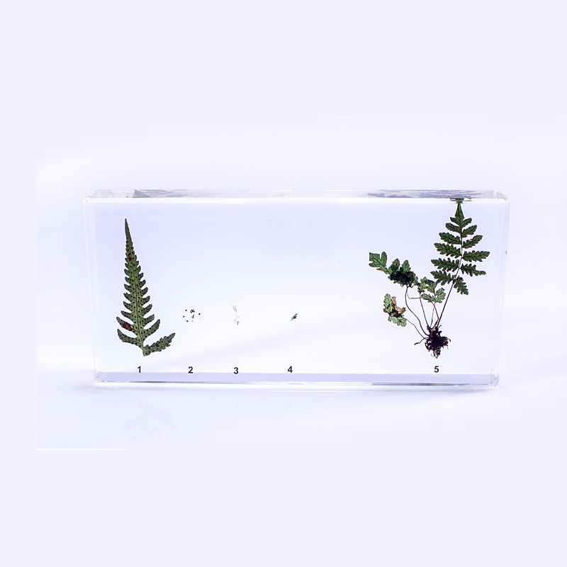 Fern Specimens In Clear Lucite Resin Block Educational Middle school biology School teaching aids Teaching instrument teaching writing methods in afghanistan
