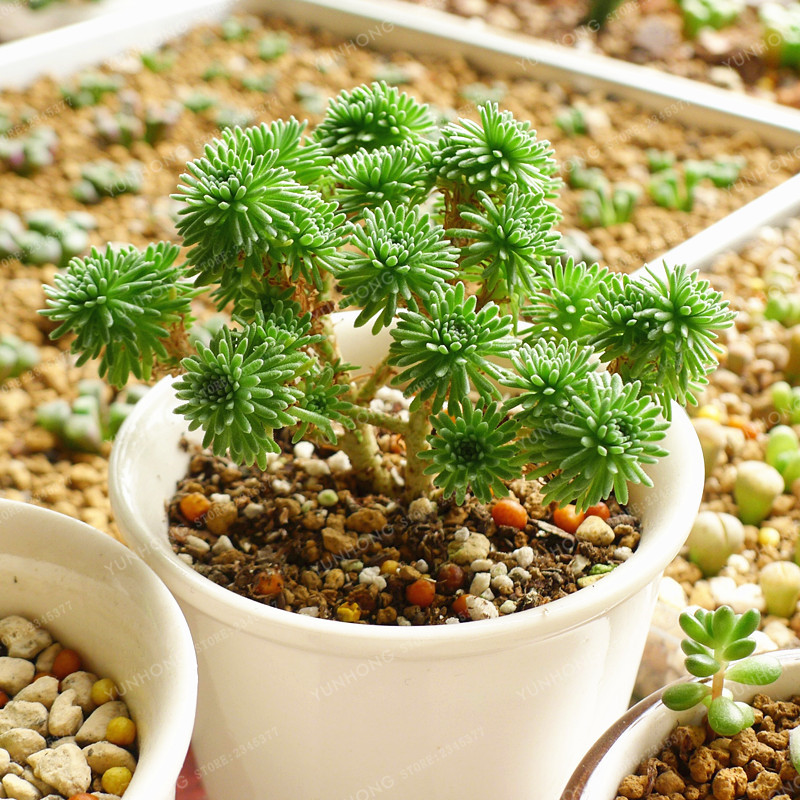 Sedum Multiceps Seed Succulent Plants Seeds Flower Seed Variety Complete Potted Plants Purify The Air 100 Pcs / Bag