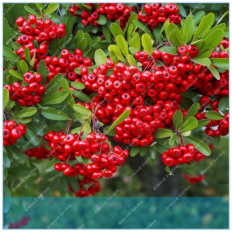 ZLKING 100 stk. pyracantha firethorn pyracantha plante Potted organisk frukt bonsai tre hjem hagen plante