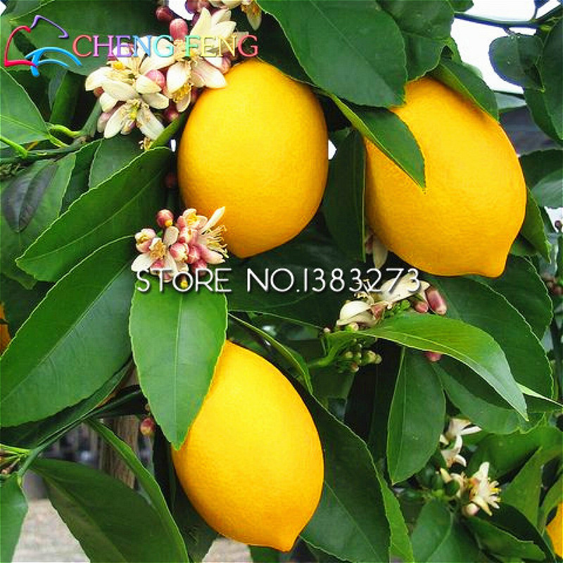 Compare prices on growing lemon trees online shopping buy for Buy lemon tree
