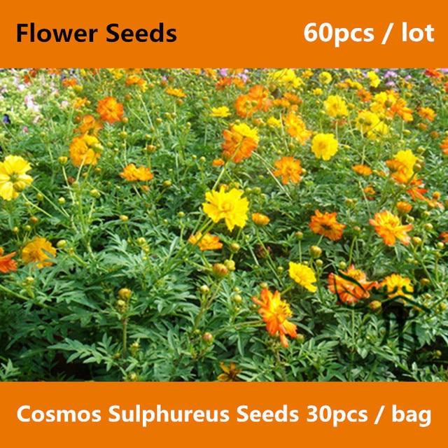 Populares Novel Planta Cosmos Sulphureus ^^^^ 60 pcs, Flor amarela Cosmos  PX78