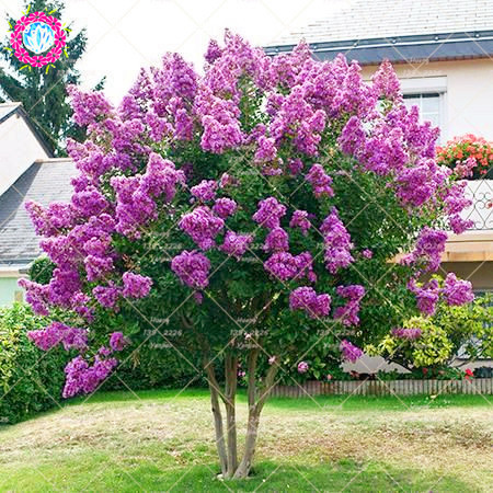 100pcs crape myrtle lagerstroemia indica natchez perennial flower 100pcs crape myrtle lagerstroemia indica natchez perennial flower plant courtyard myrtle tree plant for home garden planting in bonsai from home garden mightylinksfo