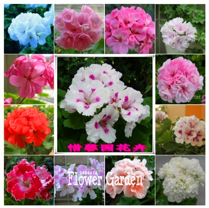 Hot Sale!Geranium seeds potted balcony planting seasons Pelargonium potted sprouting, 20 pcs / bag ,#O78ZIL