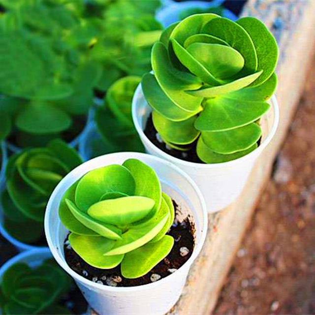 New arrival!200pcs rare Portulaca molokiniensis Seeds money wood tree Bonsai DIY Home Garden Flower Perennial succulent plant