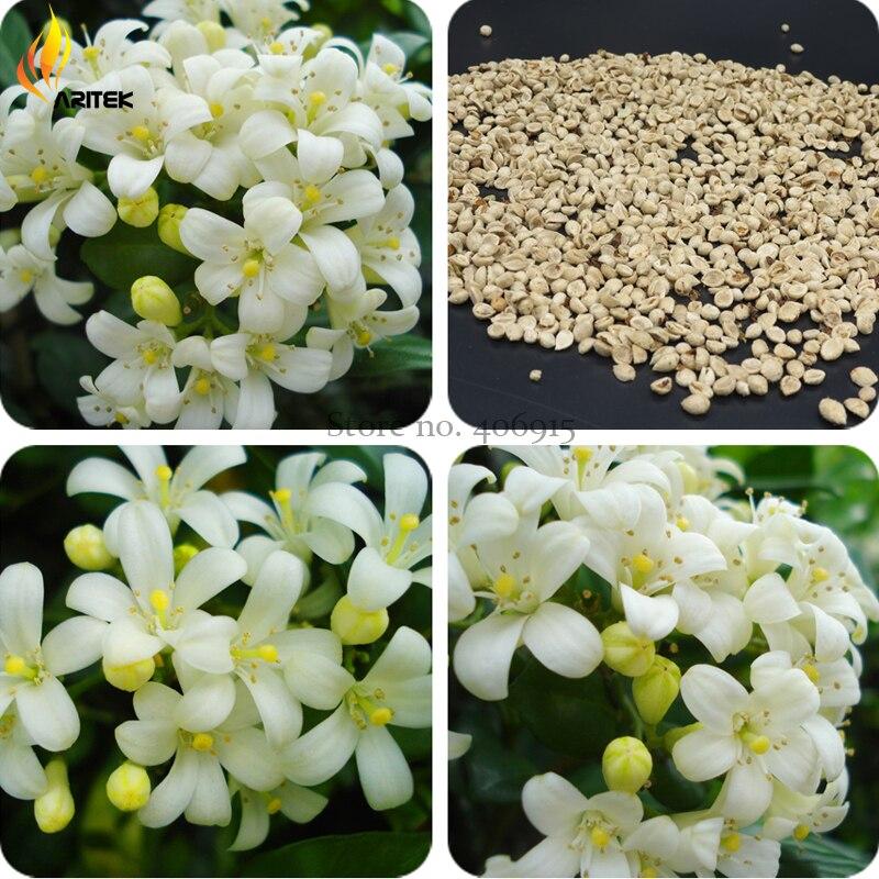 popular fragrant white flowersbuy cheap fragrant white flowers, Natural flower