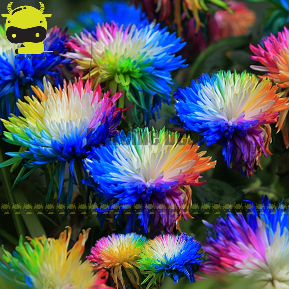 Rainbow chrysanthemum flower seeds 100 seeds pack garden for Rainbow flower seeds