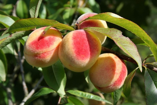 Peach Seeds, 5pcs/pack