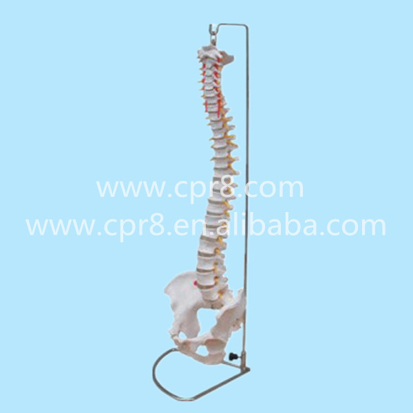 BIX-A1009 Life-Size Vertebral Column And Spine With Pelvis Model G167 vertebral column model with pelvis femur heads and sacrum 45cm spine model with intervertebral disc