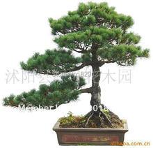 30 семена японский пять — листьями черный сосна семена, 4 сезон зеленый бонсай, 30 семена / много