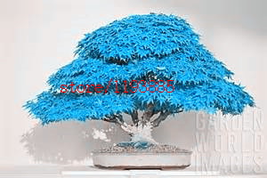 20pcs bag bonsai blue maple tree seeds Bonsai tree seeds. rare japanese sky blue maple seed. Balcony plants for home garden