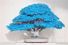 Деревьев. семян. балконных редкий деревьев клен голубой растений шт./пакет японский бонсай