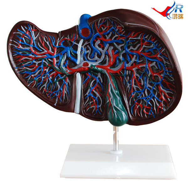 ISO Human Liver Model, Anatomical Liver Model iso median section of head model anatomical head model