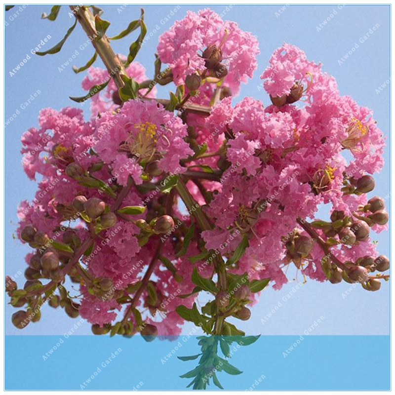 Home & Garden Fine Zlking 100pcs Crepe Myrtle Crape Tree Bonsai Flower Perennial Bush Shrub Bonsai Garden Lagerstroemia Nourishing The Kidneys Relieving Rheumatism