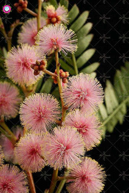 Detail Feedback Questions About 50pcs Rare Color Golden Mimosa Plant