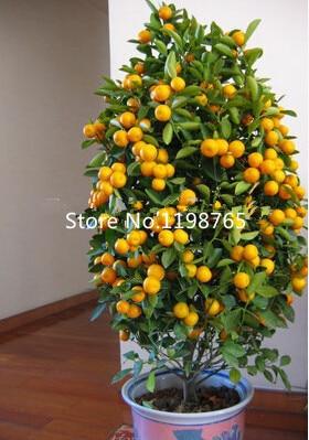 30pcs/bag, Balcony Patio Potted Fruit Trees Planted Seeds, Kumquat Seeds,  Orange