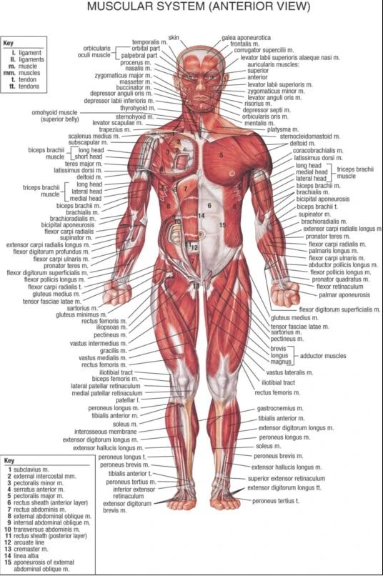 human body muscular system anter view diy frame poster print silk fabric 12x18 20x30 24x36 27x40 inch print wall decor