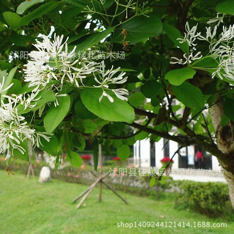 Bonsaï arbre à pompon élevé collecté plante radis fleur ruisseau arbre clairsemé arbre à thé frangé arbre tendon sub 200 g/paquet