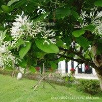 high tassel tree bonsai collected plant radish flower stream sparse tree tea tree fringed tree tendon sub 200g / Pack