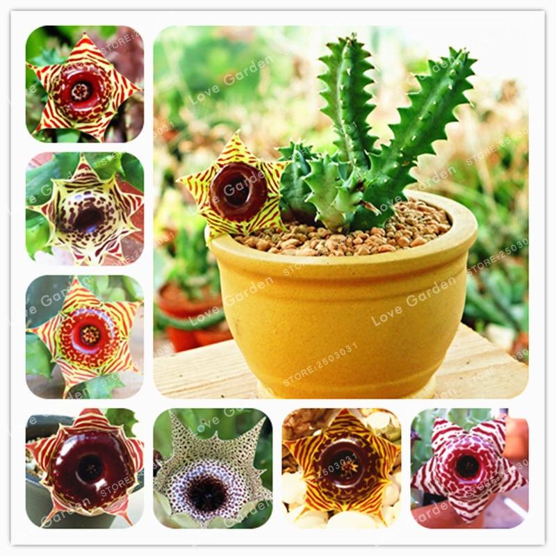 100 Huernia Zebrina Bonsai Lithops Pseudotruncatella Succulents Raw Stone Fleshiness Stems Tetragonia Potted Flowers Fleshy