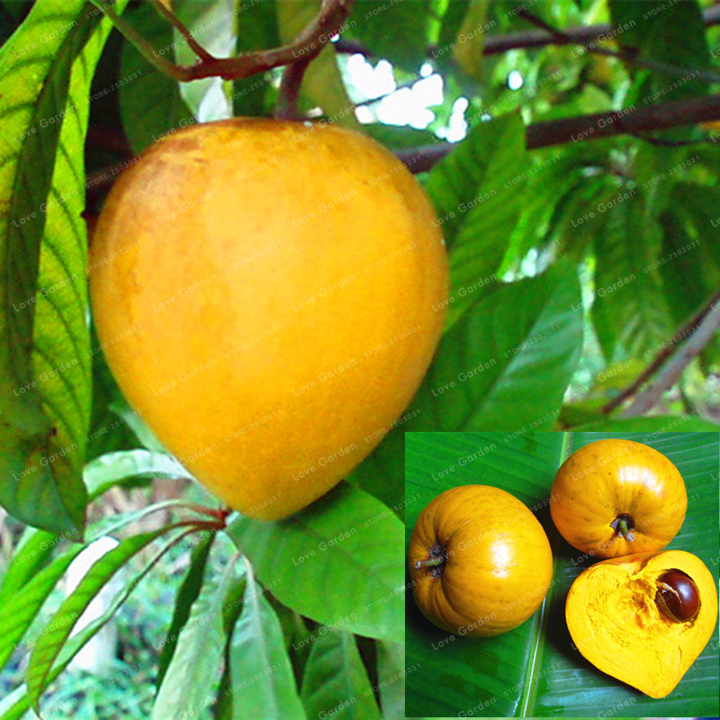 how to grow egg fruit from seeds
