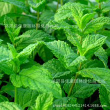 lemon mint plant fragrance incenplante night Fan intereplantt bearing vegetableplant 200g / Pack