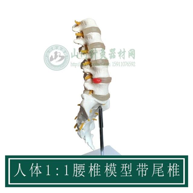 Natural gran vértebras lumbares con caudal vértebras 1:1 modelo ...