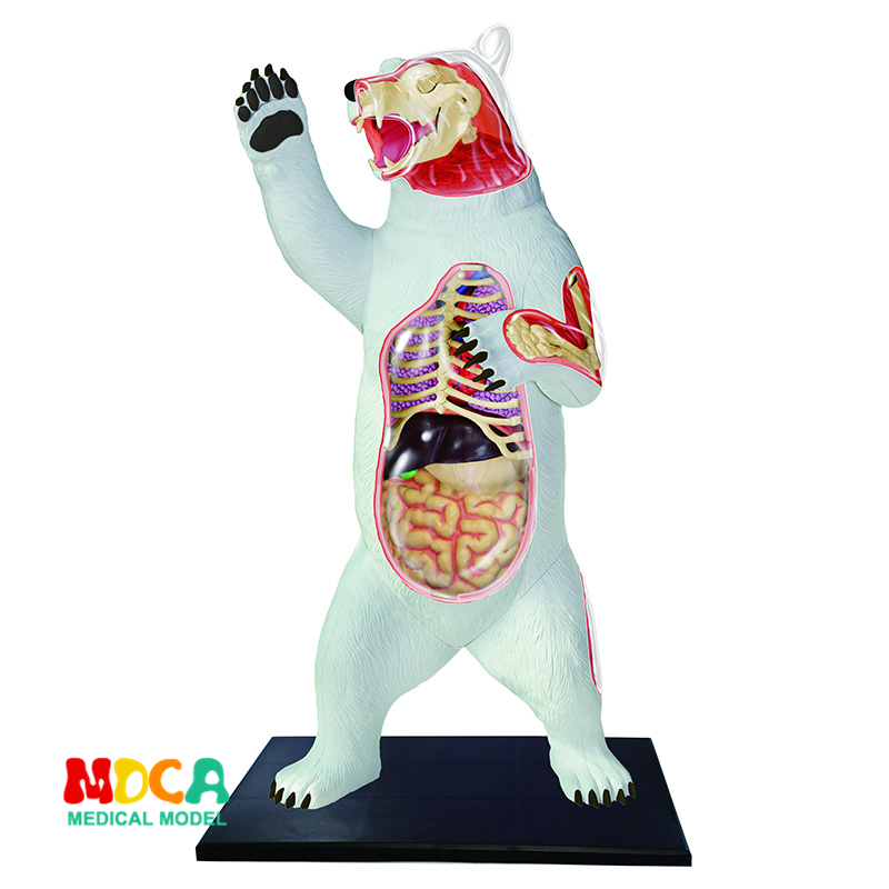 Polar bear 4d master puzzle Assembling toy Animal Biology organ anatomical model medical teaching model shunzaor dog ear lesion anatomical model animal model animal veterinary science medical teaching aids medical research model