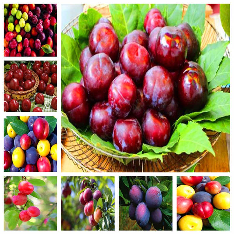 2019 New Arrive ! 5 Pcs Bonsai Potted mixe Brin Plum Fruit Wholesale Prune Bonsai Fruit Delicilous Very Easy Grow Free Shipping