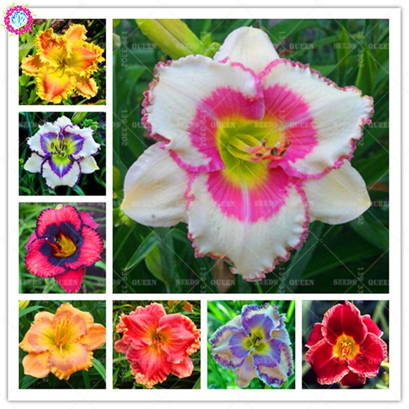 50 шт. семена лилейника Hemerocallis лилии Крытый карликовые деревья цветок многолетний завод для DIY товары для домашнего сада украшения