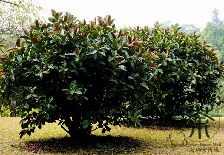 Incroyable ^^Ornamental Plant Ficus Elastica ^^^^ 600pcs, Widely Cultivated Rubber Fig  Tree ^^^^, Family Moraceae Indian Rubber Bush ^^^^ In Bonsai From Home U0026  Garden ...