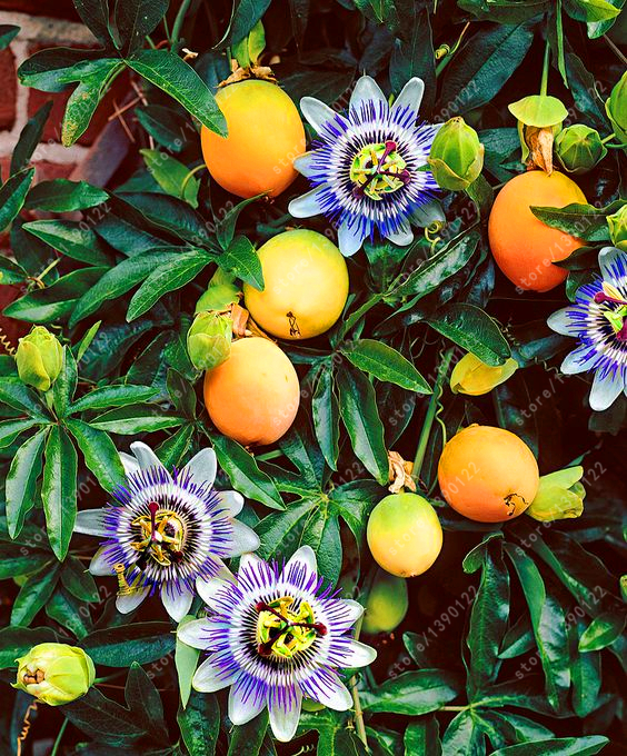 20 pcs/bag Real passion fruit seeds (Passion flower) bonsai orangic fruit seeds, nutritious Granadilla plant for home garden