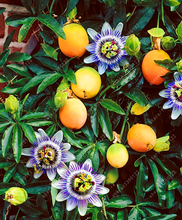 Buy  utritious Granadilla plant for home garden  online