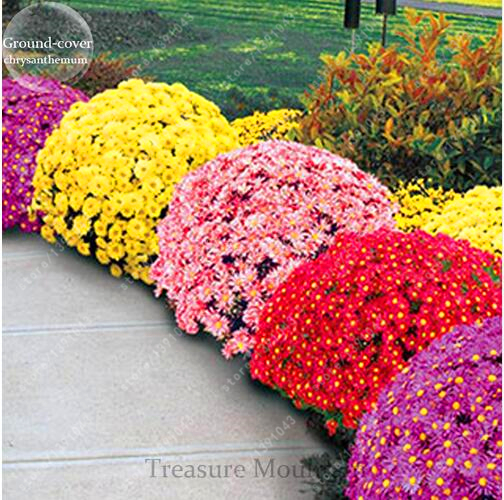 100pcs/bag Ground-cover chrysanthemum seeds, chrysanthemum perennial bonsai flower seeds daisy potted plant for home garden