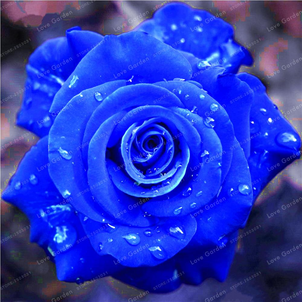 Rare blue rose flowers plant perennial plant flowers beautiful rare blue rose flowers plant perennial plant flowers beautiful bonsai plant diy home garden flower plants 50 pcs in bonsai from home garden on izmirmasajfo