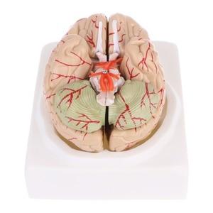 Image 4 - מפורק אנטומי מוח דגם האנטומיה הוראה רפואית כלי