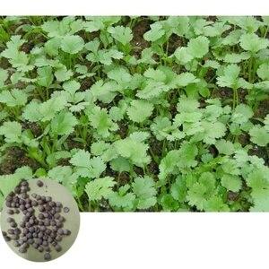 500pcs/set Cilantro Seed Kit C