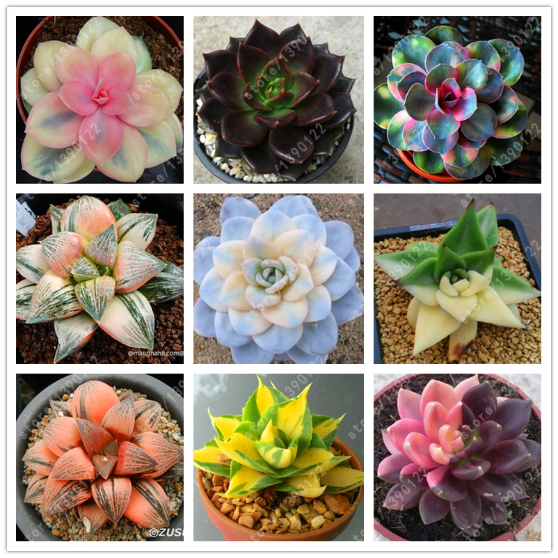 100 pcs/bag Real rare succulent seeds, perennial angiosperm plants flower seeds, Pseudotruncatella Living Stone lithops seeds