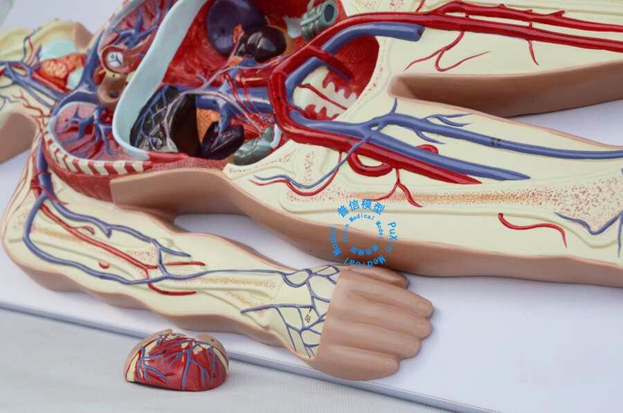 Free shipping&human body blood circulation model,heart blood vessel ...