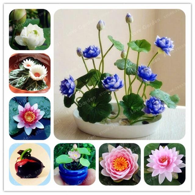 1 unids/pack de Lotus Bonsai plantas hidropónicas plantas acuáticas de Bonsai lirio de agua Bonsai interesante Bonsai Garden