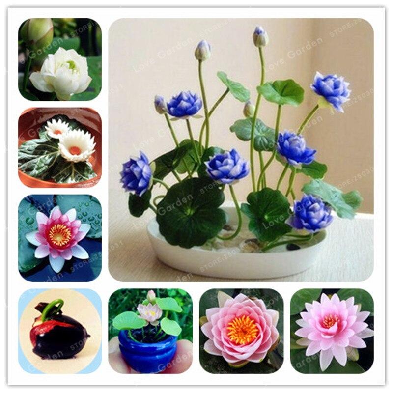 1 шт./упак. семена лотоса бонсай гидропоники водные растения Цветок Бонсай водяная Лилия бонсай интересный бонсай сад