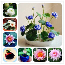 1pcs/pack Bowl Lotus Bonsai Hydroponic Plants Aquatic Plants Flower Bonsai Water Lily Bonsai interesting Bonsai Garden(China)