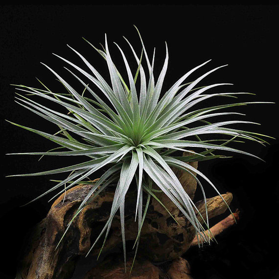 Tillandsia Houston Cherry Princess Air Plant With Buds For Large Terrarium Accessories Garden Decoration House Decor Work In Bonsai From Home