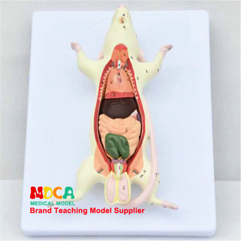 Animal Anatomy Medical Teaching MLSJP001