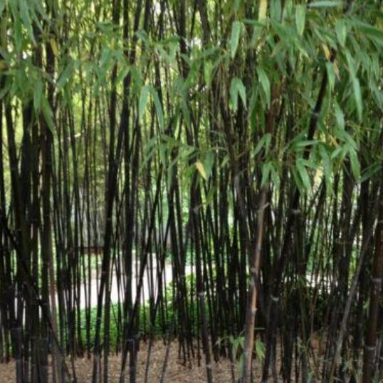 bonsai semillas semillas negras de bamb nigra semillas decoracin del jardn vegetal culmed negro de