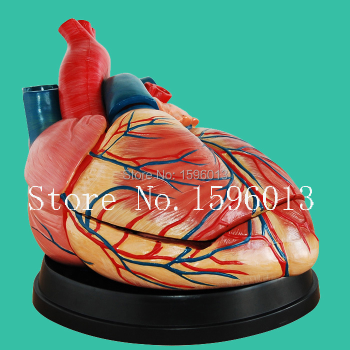 Medical Anatomical Heart Model 3 parts, New Style Human enlarged heart model human larynx model advanced anatomical larynx model