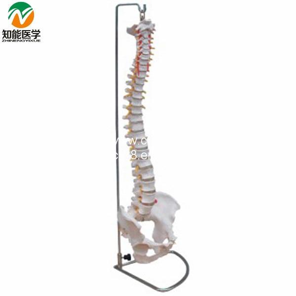 BIX-A1009  Life-Size Vertebral Column Spine With Pelvis Model  WBW268 life size vertebral column spine with pelvis model bix a1009 w051