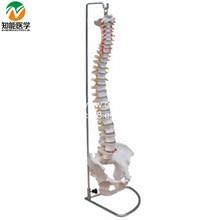 BIX-A1009  Life-Size Vertebral Column Spine With Pelvis Model  WBW268
